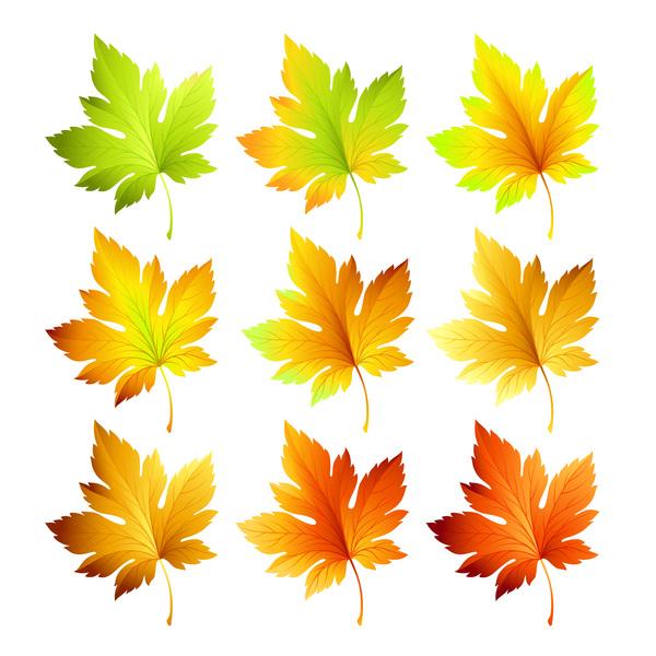 maple leaves autumn leaves