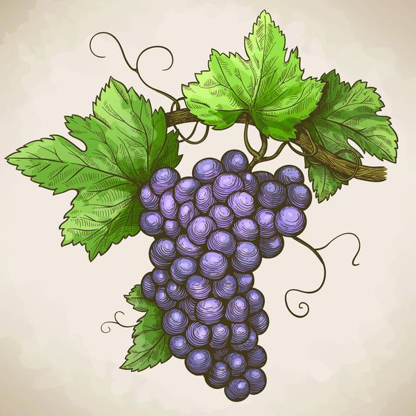hand grapes drawn