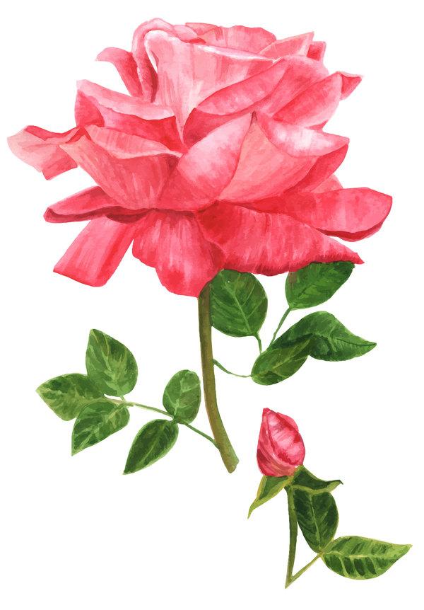 watercolor vibrant rose