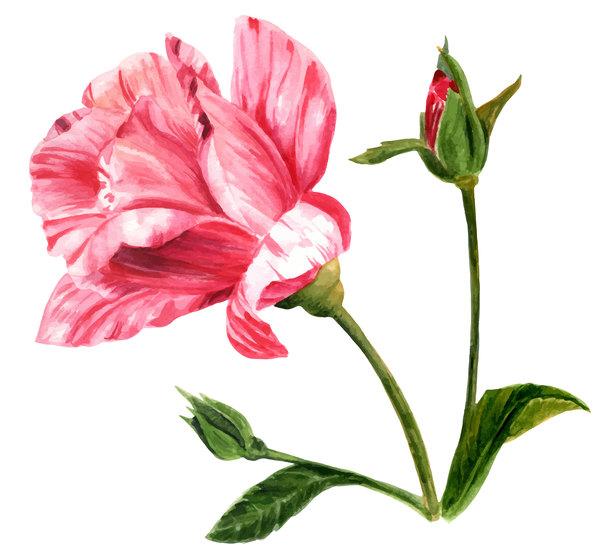 Rosa mano disegnato