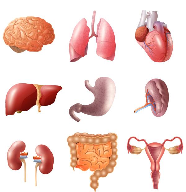 Human Visceral Organs Illustration Vectors Set 02 Welovesolo