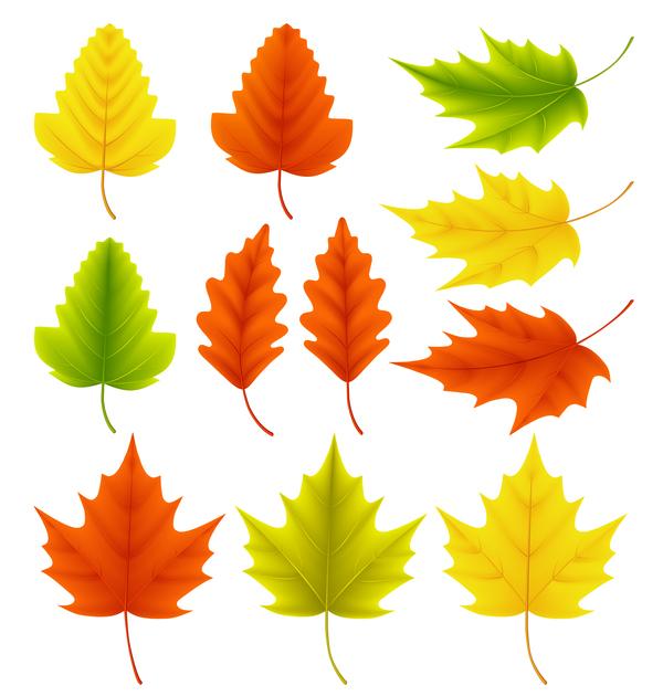 ginkgo foglie biloba acero