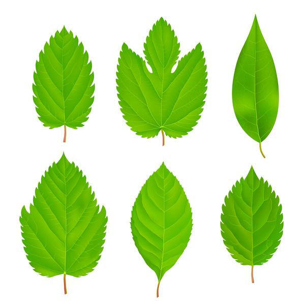 verde impostata foglie